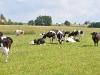 Kühe in Polen