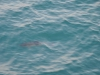 ein wilder Delphin nahe der Fähre