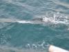 Delphine durchpflügten das Wasser