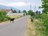 Kühe standen oft auf den Straßen im Balkan