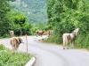 Bosnische Kühe auf der Straße
